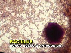 TRAMPA PARA MICROORGANISMOS y ANALISIS DE SUELOS - YouTube