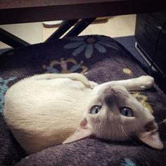 ... .. #猫 #tonkinese #tonkinesecats #ねこ #にゃんこ #にゃんすたぐらむ #ねこすたぐらむ #ねこ部 #にゃんだふるらいふ #猫のいる暮らし #猫のいる生活 #kitten #猫好きさんと繋がりたい #トンキニーズ #白猫 #ペット #愛猫 #cat #pet #instacat #neko #instacats #NEKOくらぶ #みんねこ #生後3か月 #お迎え15日目 #おはよう #子猫 #こねこ