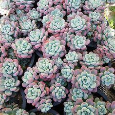 #succulent #cactus #plant #Echeveria #sedum #agavoides #nursery #green #succulents #nature #flower #cacti #lithops #ebony #aeonium #haworthia #plants #多肉植物 #多肉 #サボテン #仙人掌 #園芸 #KSucculentNursery #succulent_nursery