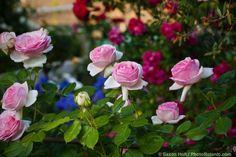 """Meilland floração rosa levantou-se;  """"Pierre de Ronsard 'aka' Eden 'na cerca no jardim do país California                                                                                                                                                      Mais"""