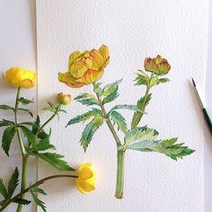 Вот эти цветы я помню с детства, они всегда у меня ассоциируются с весной, они такие милые и трогательные, само очарование. #акварель #цветы #ботаника #ботаническая_живопись #watercolor #botanyart #botanical #flowers
