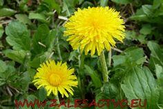 Púpavový nepravýmed Plants, Flora, Plant