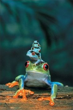 ~~Red-Eyed Tree Frog, Mother and Babies ~ 4 baby tree frogs sit on their mother's head~~