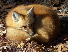 the sly red fox | red fox