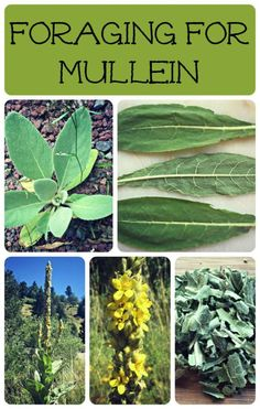 Foraging for Mullein!