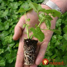 Najlepšia rada, ako si na jar namnožiť muškáty: Už žiadne priesady z obchodu, takto máte aj 20 nových muškátov úplne zdarma! Herbs, Gardening, Plants, Planters, Garten, Herb, Lawn And Garden, Horticulture