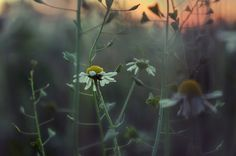 camomile by Marius Fechete on 500px