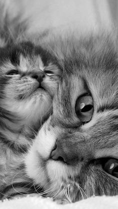 Cat whiskers are extremely sensitive touch receptors that provide sensory feedback about the environment to your cat's brain. Check out these 6 interesting facts about cat whiskers. Cute Baby Cats, Cute Little Animals, Cute Cats And Kittens, Cute Funny Animals, Kittens Cutest, Funny Kittens, Beautiful Cats, Animals Beautiful, Pretty Cats