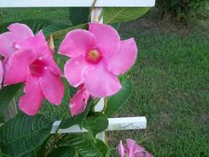 Pink Mandevilla photo by Joy Fussell