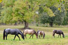 Herd life with stallion, mares and foals