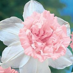 """Petit Four Daffodil - direct from Holland - Soon after opening with a creamy-yellow cup, Petit Four turns into one of the world's finest pink double daffodils. Creamy-white outer petals set off the 4-5"""" double pink cup.Fragrant and long lasting. Also known as Rosy Cloud Daffodil."""