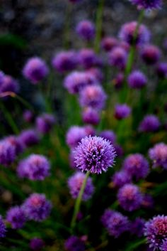 The Chive flowers that make the chive vinegar. Vinegar, Garden, Flowers, Plants, Blog, Garten, Lawn And Garden, Gardens, Blogging