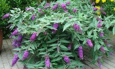 Dreaming Lavender is een compact bloeiende vlinderstruik die je terras of balkon prachtig opfleurt. Deze vlinderstruik is uniek omdat hij hangende bloemen en takken heeft. De compacte plant bloeit de gehele zomer uitbundig met grote bloemen van 20-30 cm lang. De bloemen trekken dankzij de heerlijke... Shrubs, Lavender, Buddleja Davidii, Flowers, Shrub, Hedges, Lavandula Angustifolia
