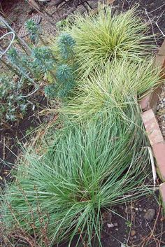 Stipa gigantea, Carex and Euphorbia wulfenii, Dec 14. http://www.mandycanudigit.co.uk/#!grasses-flax/c1qyt
