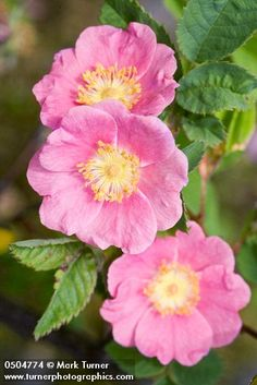 Rosa pisocarpa | clustered wild rose | Wildflowers of the Pacific Northwest