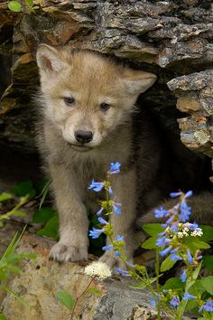 Wolves, Wolf Pup, Baby Wolves - Picture by Jeff Wendorff. Cute Baby Animals, Animals And Pets, Strange Animals, Wild Animals, Beautiful Creatures, Animals Beautiful, Tier Wolf, Wolf Pup, Wolf Love