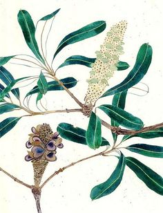 banksia seed banksia watercolour on paper. Botanical Illustration, Botanical Prints, Illustration Art, Watercolor Projects, Watercolor Art, Australian Wildflowers, Book Flowers, Plant Painting, Seed Pods