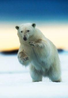 A polar bear pouncing, Svalbard, Norway.Photo: Alamy Beautiful Dark Art, Animals Beautiful, Cute Animals, Polar Bear Drawing, Penguins And Polar Bears, Bear Photos, Bear Cartoon, Bear Art, Cute Bears