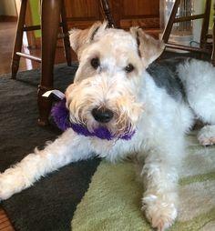 Harvey the wire fox terrier