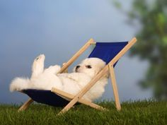 Just bein' lazy--Coton De Tulear