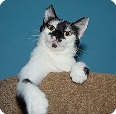 Medina, OH - Domestic Shorthair. Meet Moo Moo, a cat for adoption. http://www.adoptapet.com/pet/13477950-medina-ohio-cat