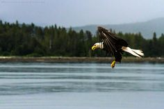 A bald eagle in Khutzeymateen Grizzly Bear Sanctuary off Prince Rupert in British Columbia, Canada on Mallory on Travel adventure, adventure...