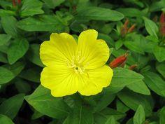 Sundrop - Oenothera fruticosa. OMG! Herbacious Plants!!!!!!!!!!!!!!!