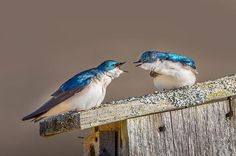 15 Super Colorful Spring Bird Photos - Birds and Blooms (Tree Swallows)