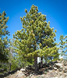 An online guide to the wildflowers and trees of Colorado and New Mexico in the Southern Rocky Mountains Conifer Forest, Conifer Trees, Evergreen Trees, Pine Forest, Seaside Garden, Drought Tolerant Landscape, Fast Growing Trees, Pine Tree, Garden Landscaping