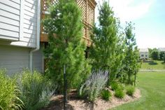 White Columnar Pine  This upright and narrow evergreen makes a great specimen tree or screen. It can grow up to 30ft tall and 6ft wide. Plant in full sun. Hardiness zones 3 to 9.