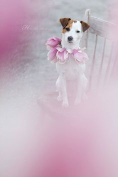 Jack Russell Terrier and the Magnolia Tree! by Heavenly Pet Photography #flowers…