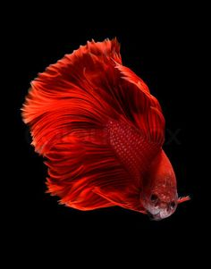 Betta fish (Siamese fighting fish) We had a red one named Elmo (Melody named it). Colorful Fish, Tropical Fish, Beautiful Creatures, Animals Beautiful, Life Under The Sea, Beta Fish, Siamese Fighting Fish, Beautiful Fish, Exotic Fish