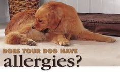 Suggestions to help your dog through allergy season.