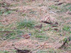 地上で餌をついばむホオジロとカシラダカ.  ホオジロとカシラダカは非常によく似ています。ホオジロのおなかが赤味がかっているのに対してカシラダカのおなかは白いです。 Meadow bunting and Rustic Bunting.  They resemble very much. Meadow bunting's belly is reddish. On the other hand, Rustic bunting's one is white.   18 February 2017.