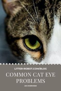 Common Cat Eye Problems: An Overview | Litter-Robot Blog