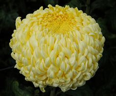 Football mums - How come we only see these in funeral arrangements? These are beautiful! Football Mums, Yellow Chrysanthemum, Funeral Arrangements, Special Flowers, Yellow Weddings, Garden, Chrysanthemums, Ivy, Galleries