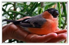Bullfinch, Wildlife, Animals, Oasis, Birds, Google, Animaux, Bird, Animal