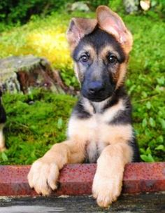I may be a little bias, but isn't he the cutest german shepherd puppy ever! Gsd Puppies, Cute Puppies, Cute Dogs, Animals And Pets, Funny Animals, Cute Animals, German Shepherd Puppies, German Shepherds, Schaefer