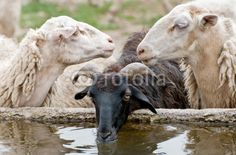 Pecore assetate - Thirsty sheep © Pietro D'Antonio
