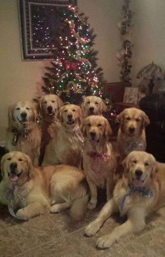 Mind Blowing Facts About Labrador Retrievers And Ideas. Amazing Facts About Labrador Retrievers And Ideas. Beautiful Dogs, Animals Beautiful, Cute Animals, Christmas Dog, Christmas Humor, Merry Christmas, Cute Puppies, Cute Dogs, Golden Retrievers