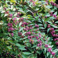 Winning Landscape Plants for Georgia - beautyberry is a native and exquisite