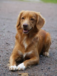 Looks so happy..Nova Scotia Duck Tolling Retriever.