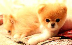 Download wallpapers Boo, puppy, dogs, spitz, funny dog, Pomeranian dog, pets, cute animals, Pomeranian Spitz