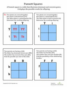 Punnett squares help chart the results of genetics. They represent dominant and … Punnett squares help chart the results of genetics. They represent dominant and recessive genes. Learn how to complete a Punnett square with this worksheet! Biology Lessons, Science Biology, Teaching Biology, Science Lessons, Life Science, Science Notes, Forensic Science, Science Projects, Computer Science