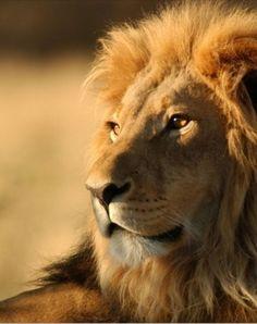 Jesús el León de la tribu de Judá.