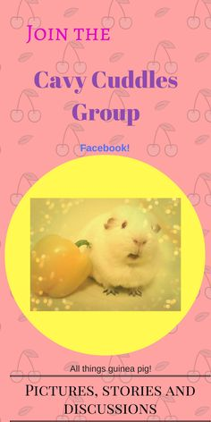 The Cavy Cuddles group is for all guinea pig lovers to post their pictures, stories, questions and anything guinea pig!