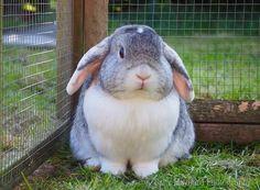 Farm Animals, Cute Animals, Bunny Care, Holland Lop, Cute Pins, Animal Paintings, Snuggles, Adoption, Bunny Rabbits