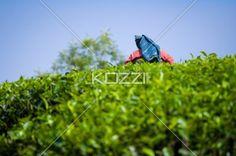 tea worker in the field - Shot from below of a worker in the tea fields in Kodanad, India.