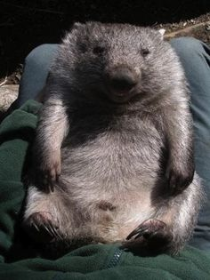 happy wombat...if I got an exotic pet (which I wouldn't) I would want one of these.
