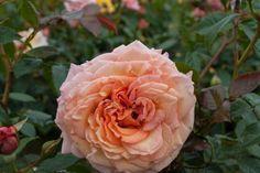 Rosa Barock® TANbak